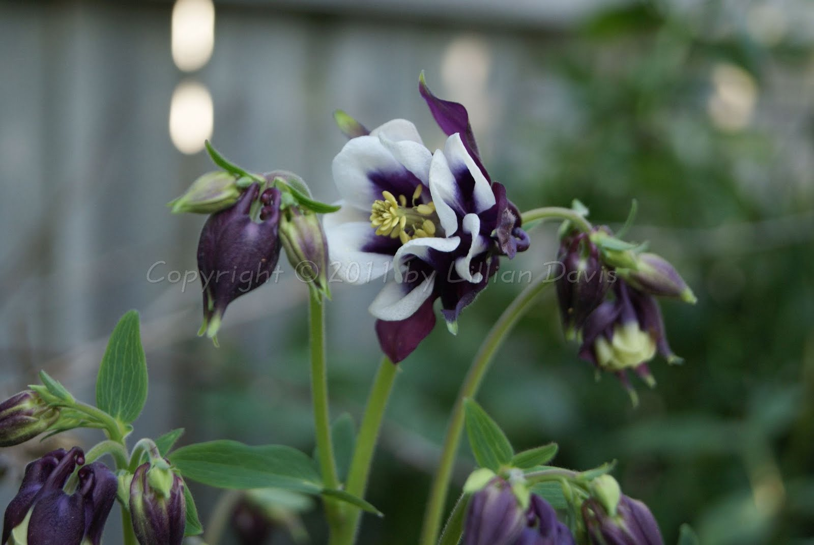 Columbine lils garden tour apparently my magpie a black and white columbine has cross pollinated with granny here and this is the happy result sadly though my grandmas bonnet is izmirmasajfo
