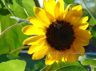 Bird's Sunflower happy bumble bee