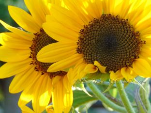 twin sunflowers