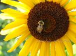 the sunflowers were loaded with bumble bees!