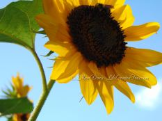 sunflower sky