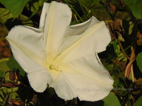 Moonflower vine bloom (Ipomoea alba)